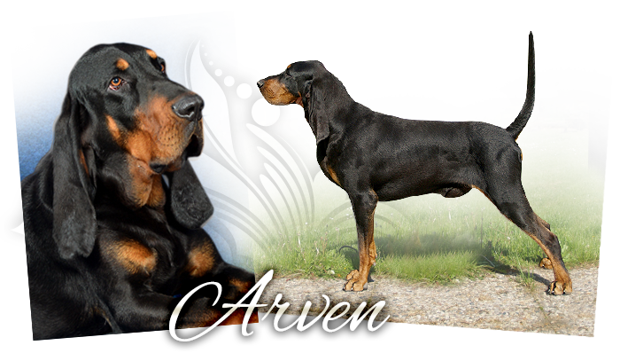 Black and tan coonhound JCh. Arven Yellow Queen