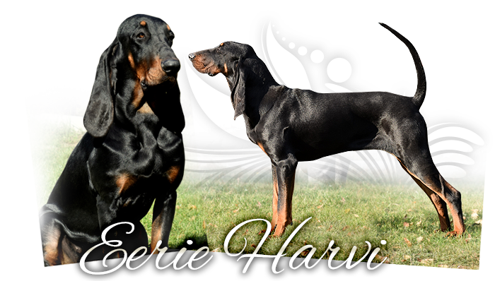 Black and tan coonhound EERIE HARVI ROCKYTOP BLOSSOMING MEADOW