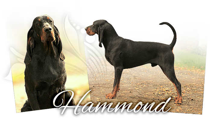 Black and tan coonhound ROCKYTOP HAMMOND