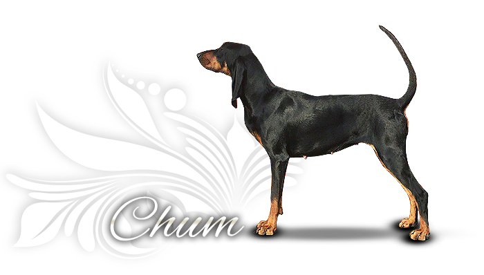 Black and tan coonhound Necku One More Time Rtp