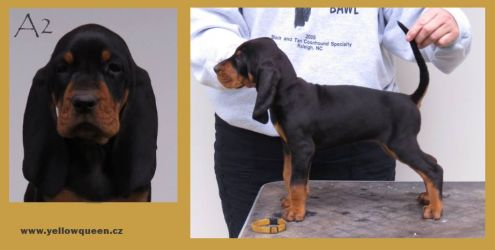 Black and tan Coonhound štěňata