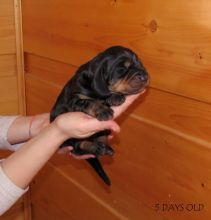 Black and tan Coonhound puppies